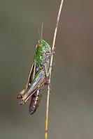 Heide-Grashüpfer, Heidegrashüpfer, Liniierter Grashüpfer, Panzers Grashüpfer, Grashüpfer, Weibchen, Stenobothrus lineatus, stripe winged grasshopper, stripe-winged grasshopper, lined grasshopper, female, le sténobothre ligné, le criquet du brachypode