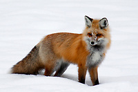 A Red Fox is searching for voles or mice during winter at Yellowstone National Park, Wyoming