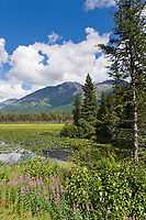 Fireweed and lily pads, Bear lake, Kenai mountains, Kenai Peninsula, southcentral, Alaska.