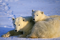 Polar bears (Ursus maritimus)--mother with yearling cub snugging together while resting.