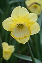 Narcissus 'Saint Patrick's Day', mid April. A large-cupped daffodil with greenish, lemon-yellow flowers.