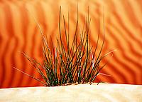 Wild desert grass close-up over beautiful, orange sand dune shapes, in the Arabian desert near Dubai in the United Arab Emirates