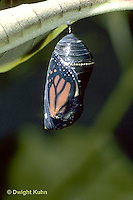 MO04-013z  Monarch Butterfly - developing chrysalis ready for butterfly to emerge - Danaus plexippus