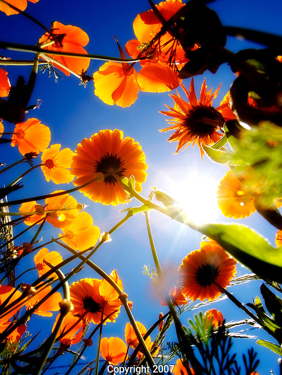Poppies and other summer flowers viewed from the ground and looking up to the sun.