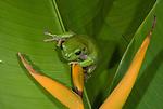 White-lipped Tree Frog (Litoria infrafrenata) on a heliconia
