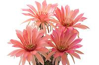 Echinopsis 'Fascination'