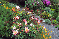 Shrub rose in mixed garden by pathway