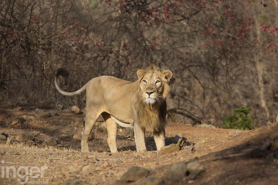 Asiatic Lion in Sasan Gir, Gujarat, India