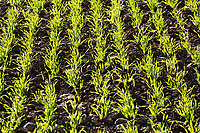 22.11.2020Young Wheat plants <br /> ©Tim Scrivener Photographer 07850 303986<br />      ....Covering Agriculture In The UK....