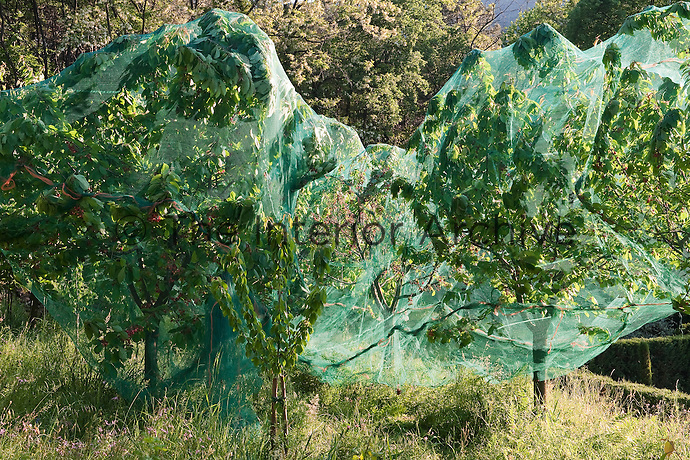 In the mature cherry orchards the trees are draped in protective netting against the marauding birds