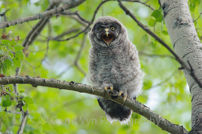 A juvenile Great Gray Owl (Strix nebulosa) giving its begging vocalization. Young great grays utter this call steadily throughout the day and night to solicit their parents to feed them. Central Alberta, Canada. June.