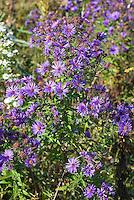 Aster novae-angliae in the wild, New England Aster aka Symphiotrichum novae-angliae