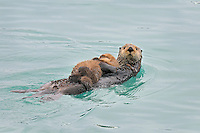Alaskan or Northern Sea Otter (Enhydra lutris) mother carrying pup.