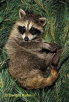 MA25-242z  Raccoon - young raccoon resting - Procyon lotor