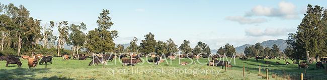 Cows on farmland with old totara trees in Whataroa, South Westland, West Coast, New Zealand, NZ