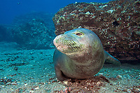 Underwater encounters with Hawaiian monk seals, Neomonachus schauinslandi, endemic and endangered) are few and far between, Maui, Hawaii, USA, Pacific Ocean