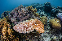 broadclub cuttlefish, Sepia latimanus, with mating scars, camouflaged into coral reef, Komodo National National Park, Komodo, Lesser Sunda Islands, Indonesia, Indo-Pacific Ocean