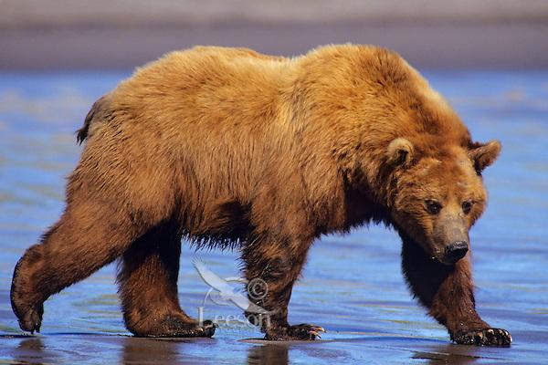 Grizzly bear or coastal brown bear walking on sandy beach.  Alaska.