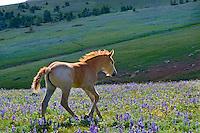 Wild Horse or feral horse (Equus ferus caballus) colt trotting thru wildflowers.  Western U.S., summer.