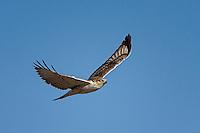 Ferruginous Hawk, New Mexico roadside