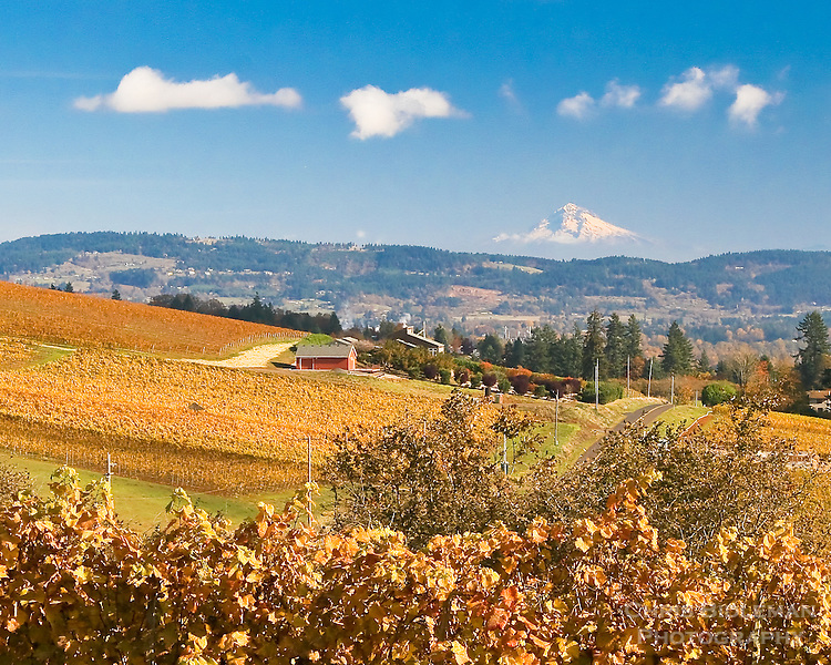 Willamette Valley wine country west of Portland, OR showing yellow Fall  color of vineyards and grapevines with snowy Mt Hood in the background