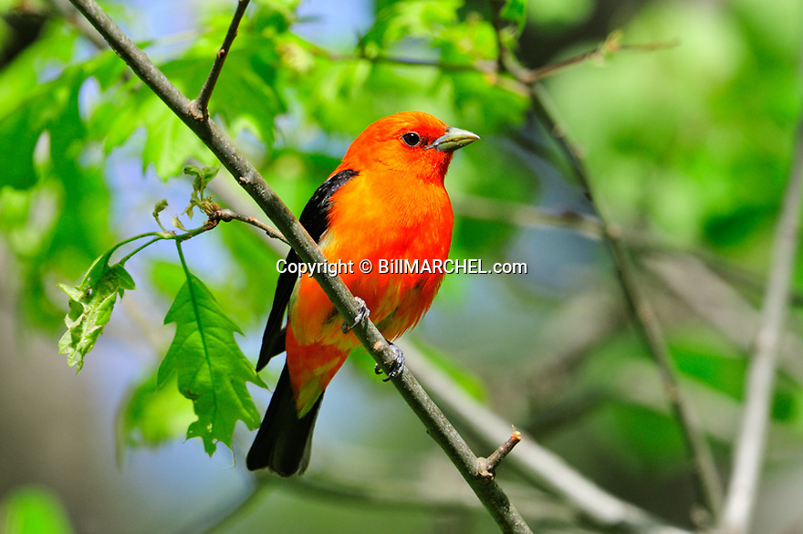 01185-011.10 Scarlet Tanager male is perched in red oak tree.  Red, bird, birding, forest, manage.