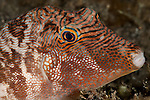Toby pufferfish (Canthigaster sp.)