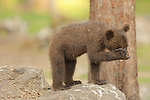 SEQUENCE 6 OF 12:  I can't bear it!<br /> <br /> This cub appears to be having a bad day as it covers its face with its paw.  The three-month-old brown bear hides his face and growls moodily.<br /> <br /> The stroppy looking cub was photographed in the Finnish spruce and pine covered taiga, or boreal forest, in Martinselkonen.  SEE OUR COPY FOR DETAILS.<br /> <br /> Please byline: Valtteri Mulkahainen/Solent News<br /> <br /> © Valtteri Mulkahainen/Solent News & Photo Agency<br /> UK +44 (0) 2380 458800