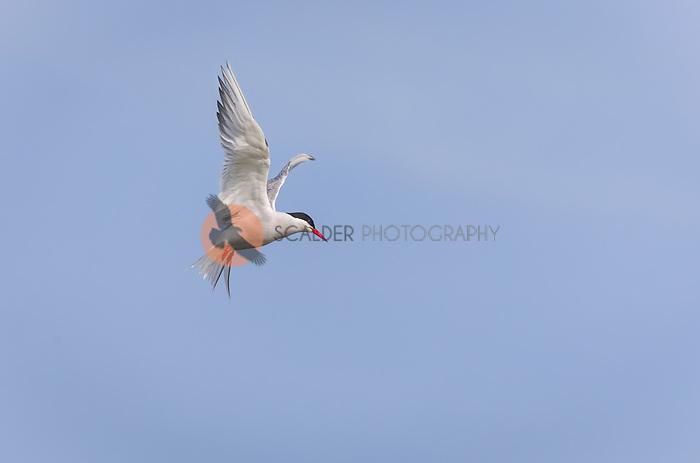 Arctic Tern in breeding colors in flight against blue sky