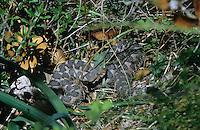 Europäische Hornotter, Sandotter, Sandviper, Hornviper, Horn-Viper, Horn-Otter, Sand-Otter, Sand-Viper, Vipera ammodytes, Otter, Viper, sand viper, nose-horned viper, horned viper, long-nosed viper