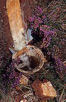 Europe/France/Aquitaine/40/Landes/Parc Naturel Régional des Landes de Gascogne/Marquèze (écomusée de la Grande Lande): Gemmage des pins dans la forêt landaise