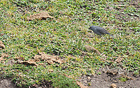 Male Plumbeous sierra finch, Phrygilus unicolor, at Antisana Ecological Reserve, Ecuador