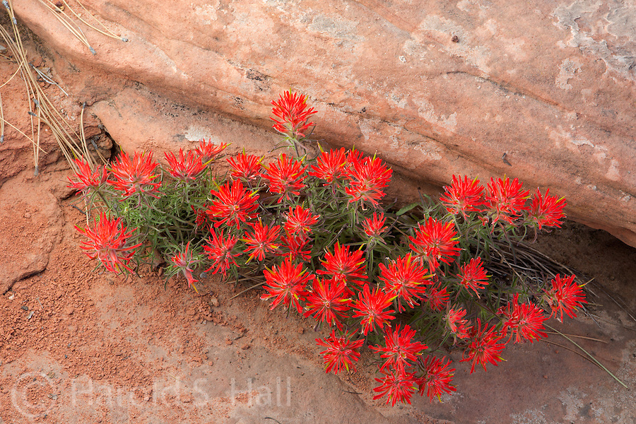 Bright red Indian paintbrush is in full bloom in Zion National Park Utah.
