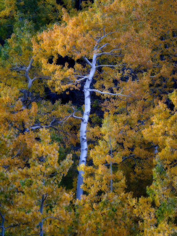 Aspen trees in fall color , Eastern Sierra Nevada Mountains, California