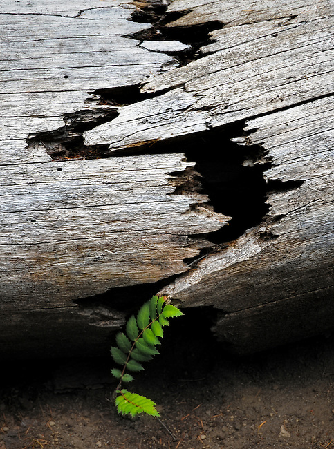 An Oregon grape growing under an old, cracked log near the Rogue River and Crater Lake National Park.