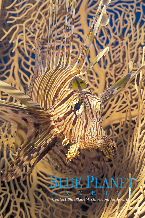 lionfish, Pterois volitans, sheltering in a sea fan, Red Sea