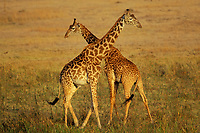 "Masai Giraffe (Giraffa camelopardalis), East Africa. Young males ""necking"" (dominance behavior)."