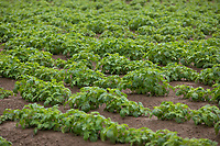 Irrigated potatoes - Lincolnshire, June