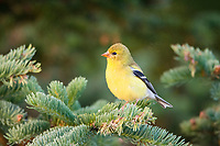 American goldfinch, Spinus tristis, female perched on twig in winter, Nova Scotia, Canada