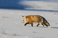 Red Fox (Vulpes vulpes), adult walking, Yellowstone National Park, Wyoming, USA