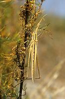 Gewöhnliche Nasenschrecke, Acrida ungarica, Snouted Grasshopper, Nosed grasshopper
