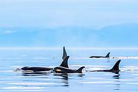 killer whale or orca, Orcinus orca, pod of resident orcas, with mother and calf, surfacing, Strait of Juan de Fuca, aka Juan de Fuca Strait, Washington, USA, Pacific Ocean