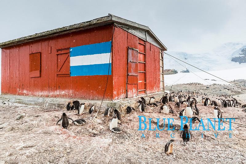 gentoo penguin colony, Pygoscelis papua, Mikkelsen Harbor, Trinity Island, Antarctica, Southern Ocean