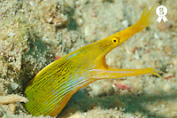 Yellow Ribbon eel Rhinomuraena quaesita (Licence this image exclusively with Getty: http://www.gettyimages.com/detail/91934852 )