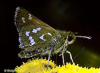 LE04-007a  Butterfly - Common Banded Skipper - Hesperia comma