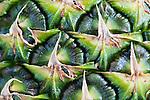 Pineapple (Ananas comosus) close up of fruit's skin.