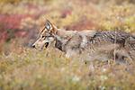 A wolf walks through the tundra brush in Denali National Park, Alaska.
