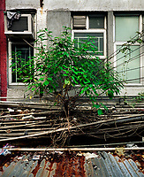 Flora, Baum, Wellblechdach, Hongkong, China, 2003, Hong Kong Flora<br />  ***Keine Social_Media Nutzung***<br /> <br /> Engl.: Asia, China, Hong Kong, urban flora, plant, tree<br /> ***No social media use***