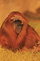 Orangutan shading eyes