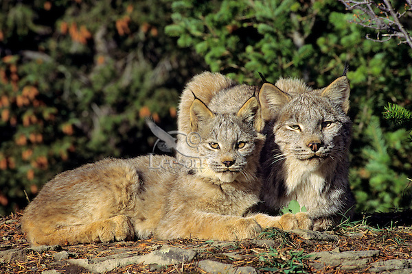Adult lynx with kitten (Lynx canadensis), Northern Rockies.